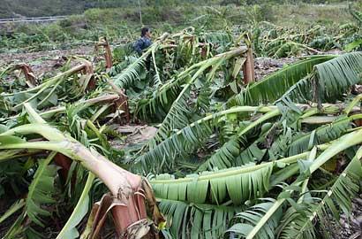 """科技 三亚/台风""""山神""""横扫 三亚10280亩香蕉绝收"""