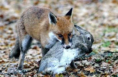画狐狸的步骤图解
