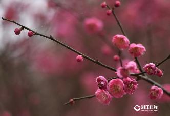 武義:寒梅綻放迎新春