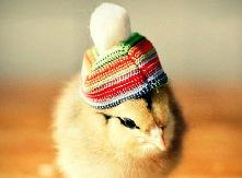 范儿/超有范儿!卖萌小鸡上演帽子秀