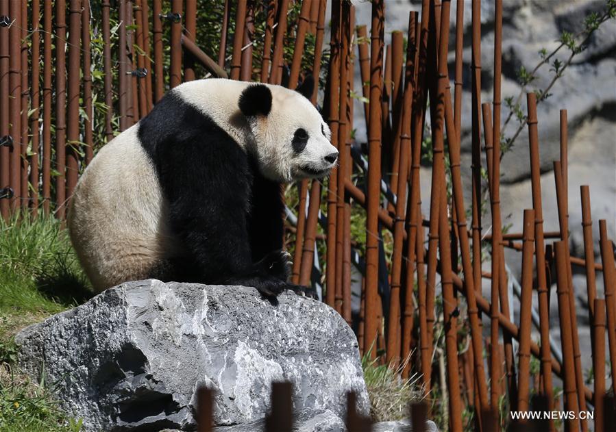 BELGIUM-BRUGELETTE-PAIRI DAIZA ZOO-GIANT PANDAS
