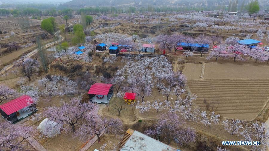#CHINA-GANSU-APRICOT BLOSSOM (CN)