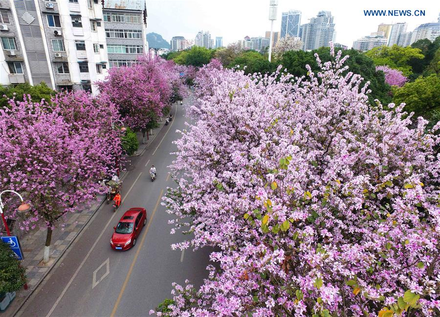 Hong Kong Orchid Trees Enter Into Blossom Season In S
