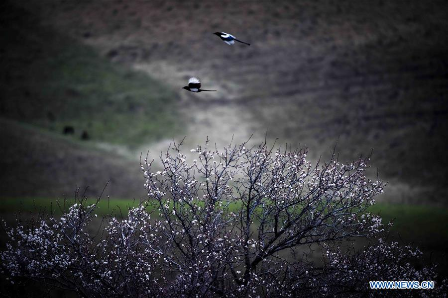 Magpies fly over apricot trees in &quot;Apricot Valley&quot; in Xinyuan County, northwest China's Xinjiang Uygur Autonomous Region, April 16, 2017. Apricots in &quot;Apricot Valley&quot; are in full bloom recently, attracting tourists to come. (Xinhua/Zhao Ge)<br/>