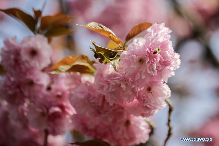 Cherry blossoms are seen on the tree at the United Nations Headquarters in New York, April 20, 2017. (Xinhua/Li Muzi)<br/>