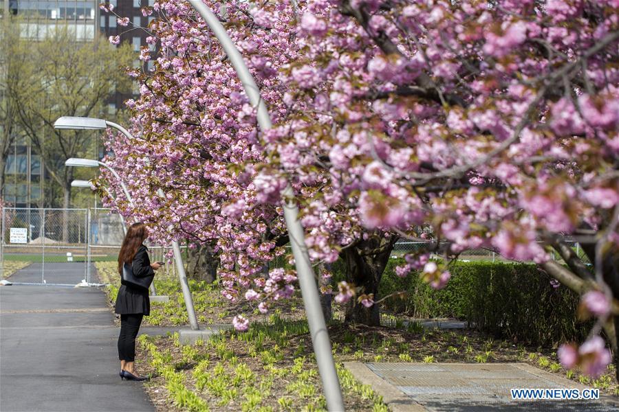A woman enjoys cherry blossoms at the United Nations Headquarters in New York, April 18, 2017. (Xinhua/Li Muzi)<br/>
