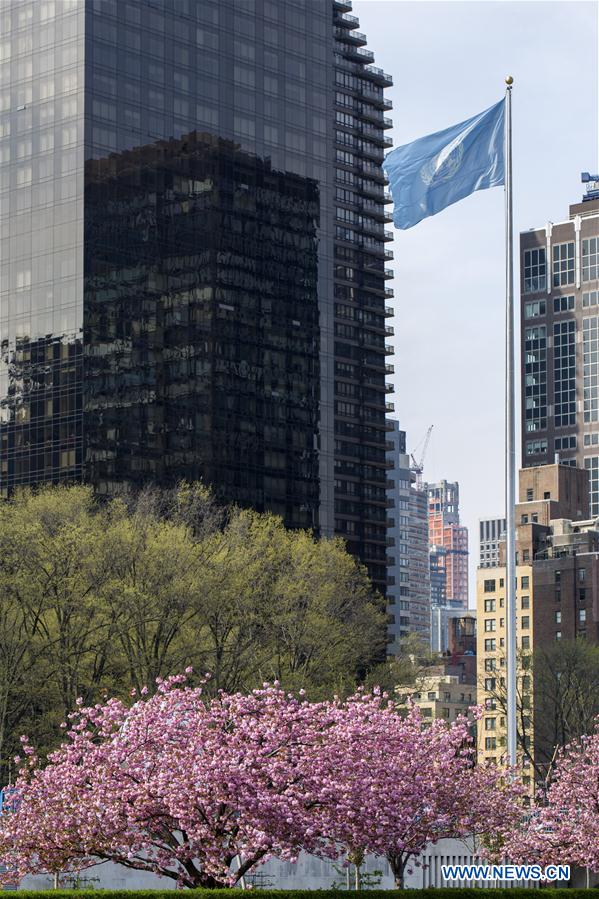 Cherry blossoms are seen on trees at the United Nations Headquarters in New York, April 20, 2017. (Xinhua/Li Muzi)