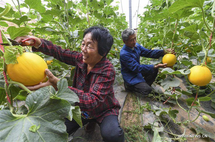Villagers pick muskmelons in a greenhouse in Tanglin Village in Zaoqiang County, north China's Hebei Province, May 11, 2017. (Xinhua/Li Xiaoguo)<br/>