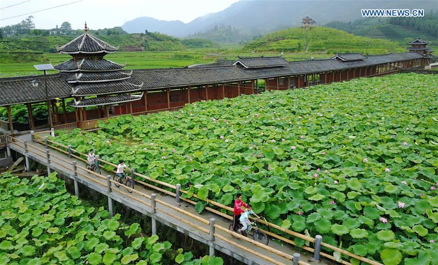 Lotus Flowers Blooming In South Chinas Guangxi Xinhua English