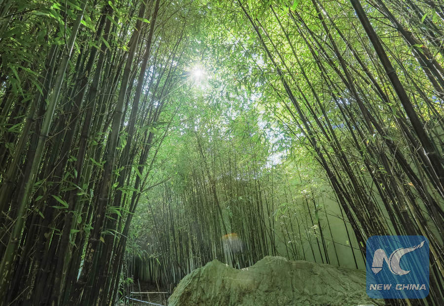 Photo Taken On March 29 2017 Shows Bamboo Woods In The Chinese Garden Of Friendship Sydney Australia Xinhua Zhu Hongye