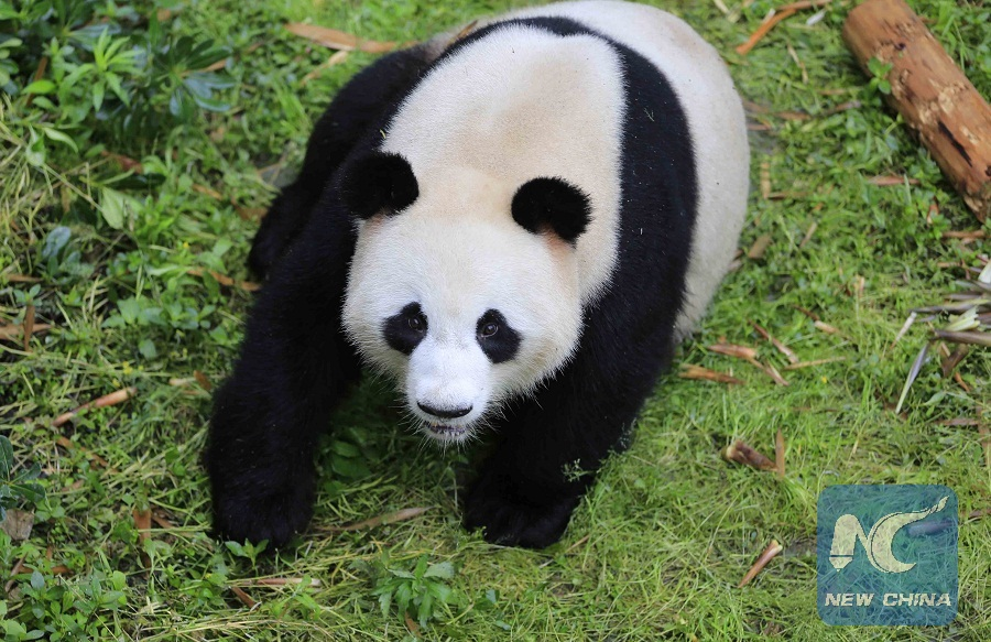 two pandas arrive in berlin from china   xinhua english