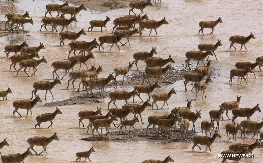 Number of Tibetan antelopes rises to over 200,000 at Changtang in Tibet