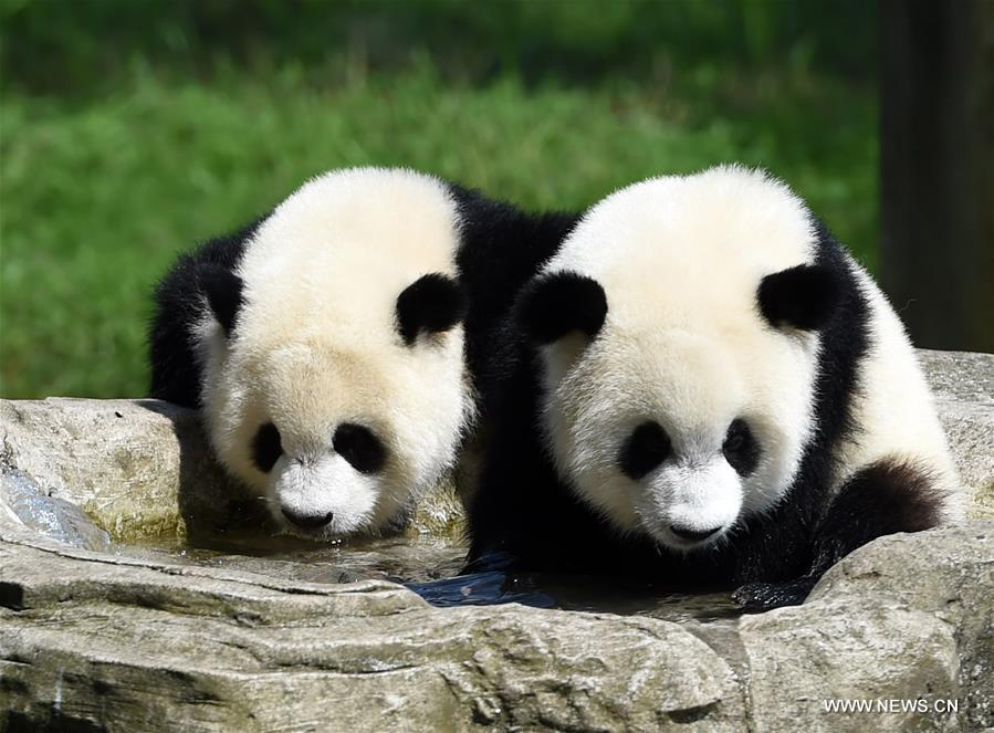 Giant panda twins &quot;Yu Bao&quot; and &quot;Yu Bei&quot; play at Chongqing Zoo in Chongqing, southwest China, July 11, 2017. The zoo held a party celebrating the first birthday of giant panda twins &quot;Yu Bao&quot; and &quot;Yu Bei&quot; on Tuesday. (Xinhua/Tang Yi)<br/>A set of panda twins celebrated their first birthday at a zoo in southwest China's Chongqing Municipality Tuesday.<br/>Yu Bao and Yu Bei were born on July 11, 2016. The male and female siblings now weigh 28 kilograms each and are both in good health.<br/>The zoo invited local children to join the birthday party, which included a birthday cake decorated with bamboo leaves and bamboo shoots for the pandas.<br/>Despite the recent hot weather, the pandas celebrated in their outdoor playground, climbing trees and playing on a swing.<br/>One year for pandas are equivalent to four years for human beings, a zoo staff member said.<br/>Chongqing Zoo began a giant panda breeding program in 1960 and is currently home to 15 pandas.<br/>