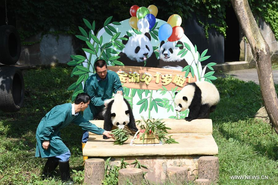 Giant panda twins &quot;Yu Bao&quot; and &quot;Yu Bei&quot; eat birthday cake at Chongqing Zoo in Chongqing, southwest China, July 11, 2017. The zoo held a party celebrating the first birthday of giant panda twins &quot;Yu Bao&quot; and &quot;Yu Bei&quot; on Tuesday. (Xinhua/Tang Yi)<br/>