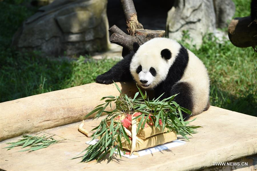 One of the giant panda twins plays at Chongqing Zoo in Chongqing, southwest China, July 11, 2017. The zoo held a party celebrating the first birthday of giant panda twins &quot;Yu Bao&quot; and &quot;Yu Bei&quot; on Tuesday. (Xinhua/Tang Yi)<br/>