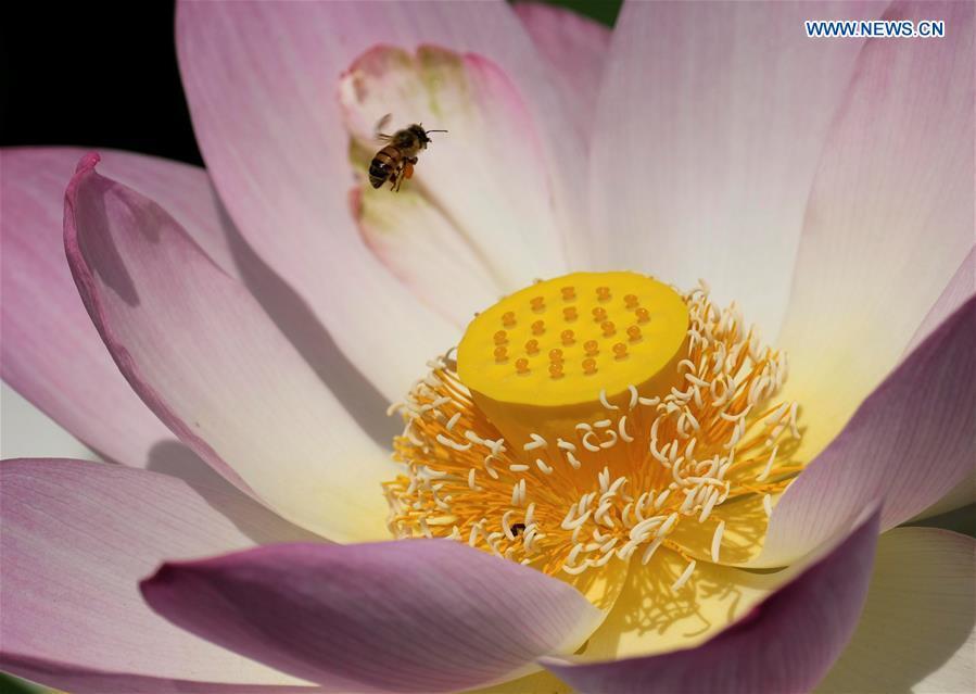 Lotus Flowers Blossom At Echo Park In Los Angeles Xinhua English