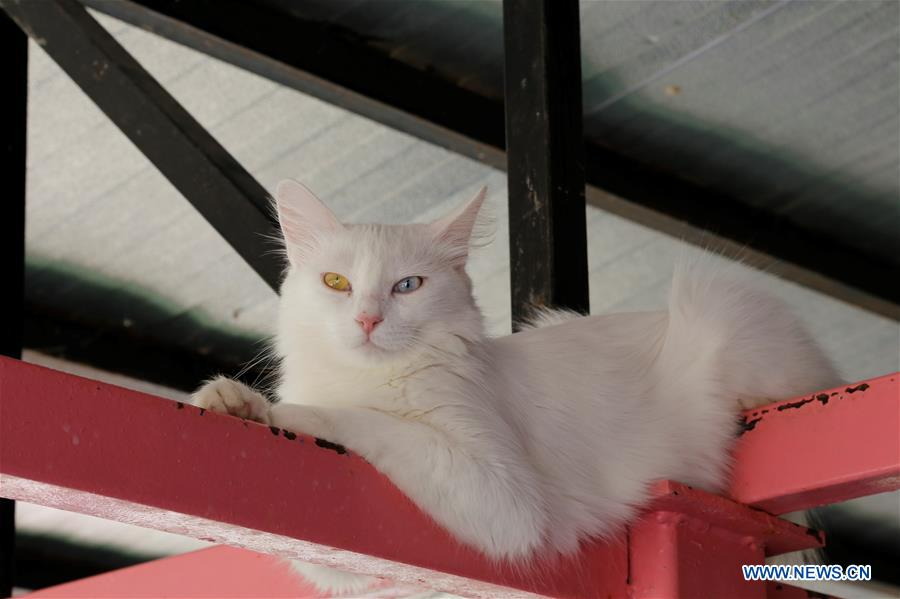 b9d31f8727 VerifiedAbout 16% of Turkish Van cats are born with startling odd eye  colors