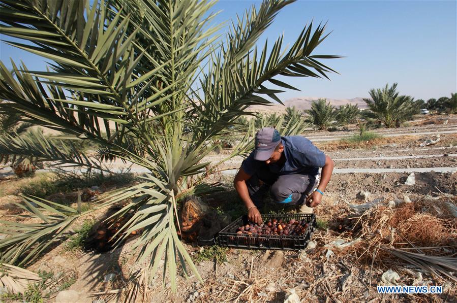 A Palestinian farmer harvests dates at a palm field in Marj Nageh village at the north of the West Bank City of Jericho, on Sept. 19, 2017. The harvesting season for dates usually starts at the beginning of October. (Xinhua/Nidal Eshtayeh)<br/>