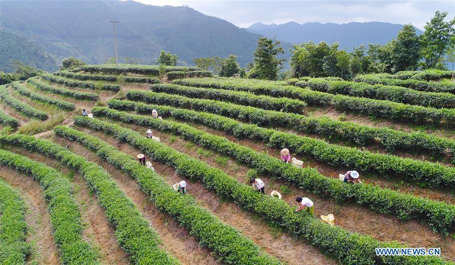 #CHINA-FUJIAN-AUTUMN TEA-HARVEST (CN)