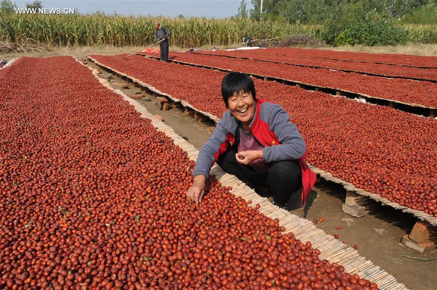 CHINA-HEBEI-RED DATE-HARVEST(CN)