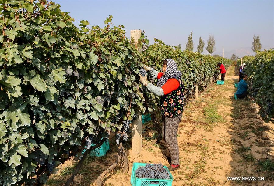 Farmers collect grapes that will go to make wine in Changli County, north China's Hebei Province, Oct. 29, 2017. With over 3,300 hectares of vineyard, Changli County entered its grape harvest season recently. (Xinhua/Yang Shiyao)