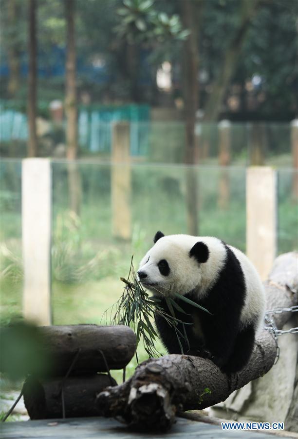 CHINA-CHONGQING-PANDA(CN)
