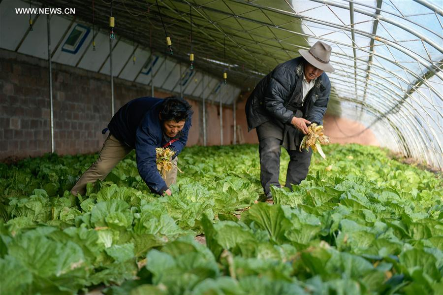 Greenhouse vegetable planting in China's Tibet