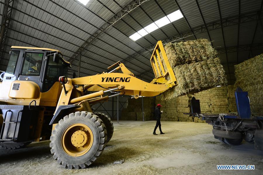 Herdsmen in China's Qinghai store hay for winter