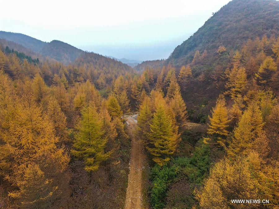 #CHINA-HUNAN-LONGSHAN-LARCH TREES(CN)