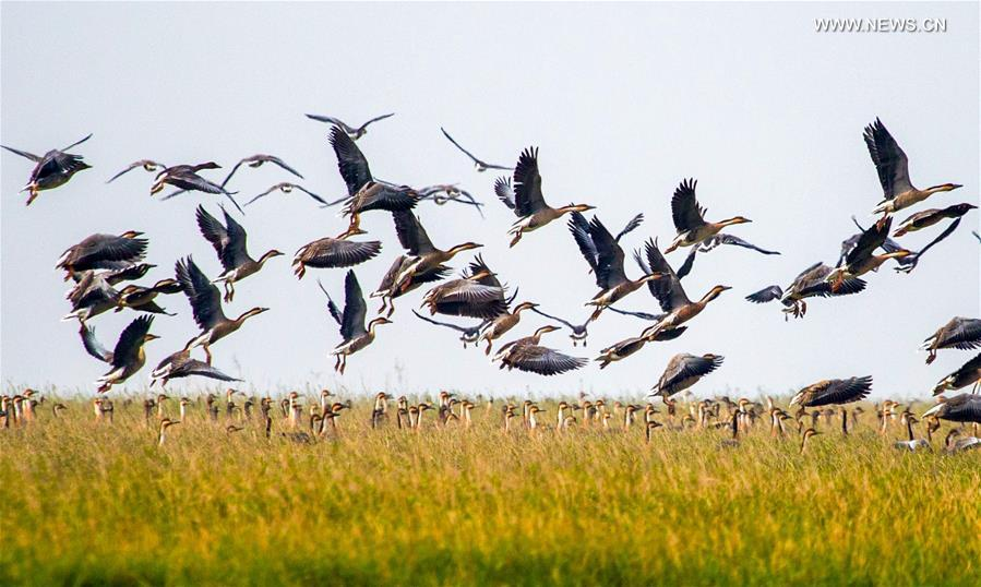 Flocks of migratory birds are seen in the Poyang Lake nature reserve, east China's Jiangxi Province, Nov. 24, 2017. Poyang is a seasonal destination for over a million birds every year. Doctor Li Chunru has been voluntarily taken care of migratory birds at Poyang Lake nature reserve for more than 30 years, bringing over 50,000 wounded wild birds out of danger. (Xinhua/Hu Chenhuan)<br/>