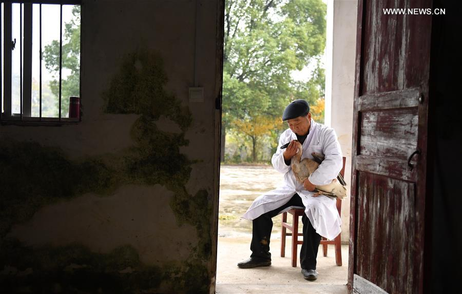 Li Chunru placates an injured swan goose at his &quot;bird hospital&quot; in Poyang Lake nature reserve, east China's Jiangxi Province, Nov. 28, 2017. Poyang is a seasonal destination for over a million birds every year. Doctor Li Chunru has been voluntarily taken care of migratory birds at Poyang Lake nature reserve for more than 30 years, bringing over 50,000 wounded wild birds out of danger. (Xinhua/Hu Chenhuan)<br/>