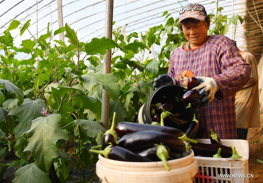 Zhao Guilan, a villager of Qianzhao Village, picks eggplants in a cooperative greenhouse in Gaoqing County, east China's Shandong Province, Dec. 6, 2017. Quality tracing system was introduced to Gaoqing County with vegetable having its own QR code which contains basic information for customers to scan.(Xinhua/Zhu Zheng)<br/>