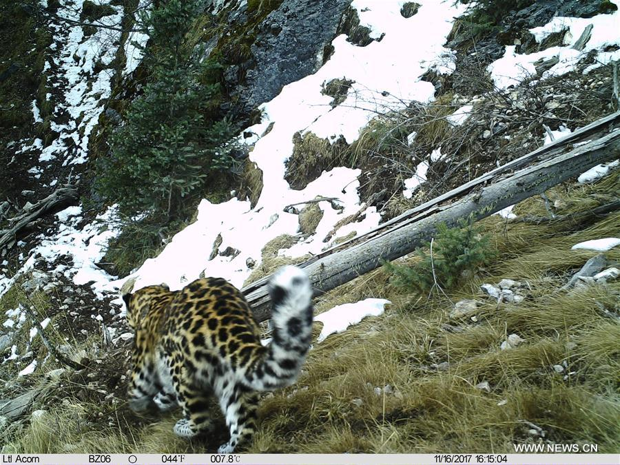 CHINA-QINGHAI-BIOLOGICAL DIVERSITY-WILD LEOPARD (CN)