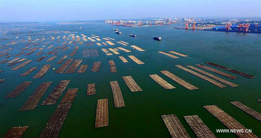 Farmers harvest oysters in China's Guangxi - Xinhua