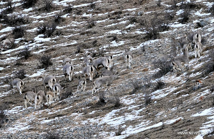 In pics: wild animals in NW China's Qinghai - Xinhua ...