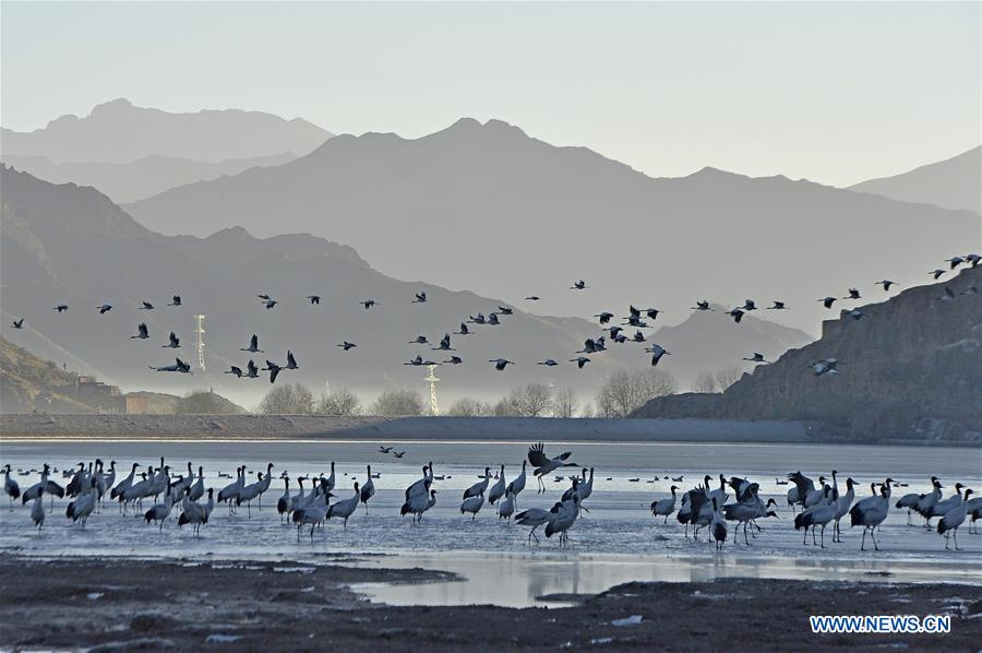 Black-necked cranes are seen in a reservoir in Linzhou County of Lhasa City, capital of southwest China's Tibet Autonomous Region, Jan. 15, 2017. Tibet has become the world's largest winter habitat for critically endangered black-necked cranes. It is currently temporary home to over 8,000 black-necked cranes, around 80 percent of the world's total population. (Xinhua/Liu Dongjun)