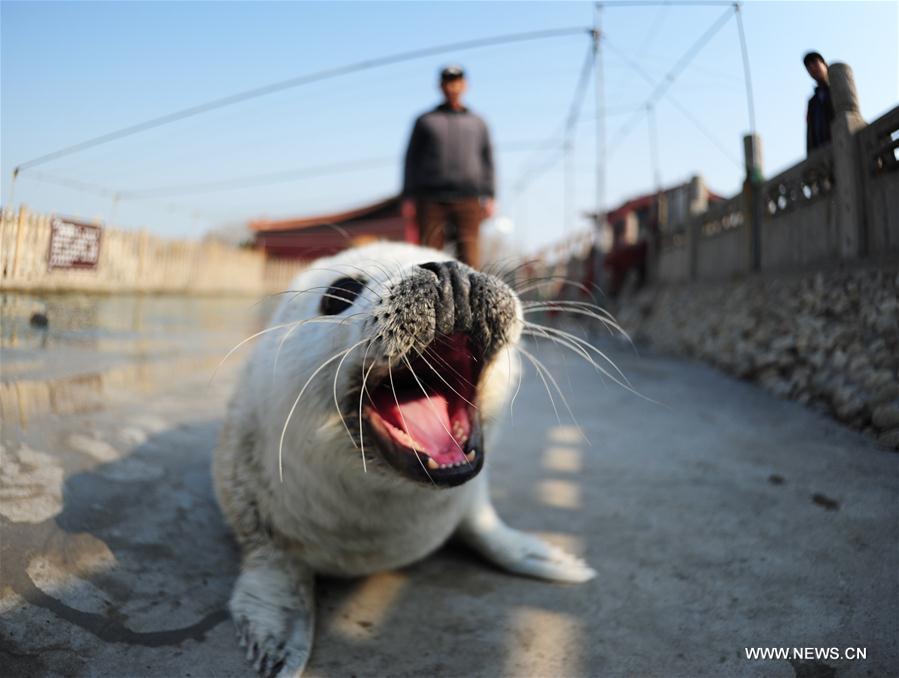 Meet newborn spotted seal cub in east China - Xinhua