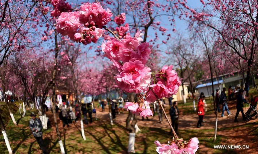 Visitors view the cherry blossoms at a park in Kunming, capital of southwest China's Yunnan Province, March 16, 2017. (Xinhua/Lin Yiguang)<br/>