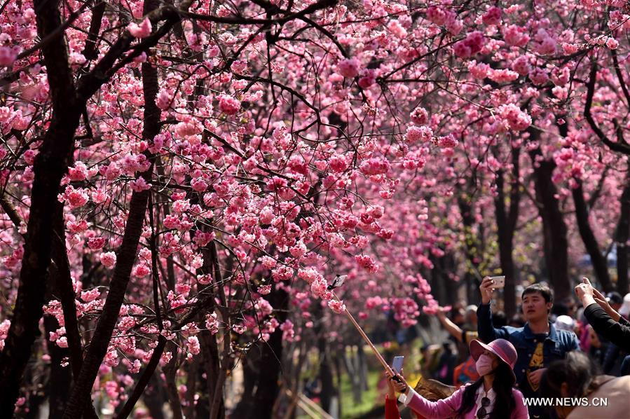 Visitors take photos of the cherry blossoms at a park in Kunming, capital of southwest China's Yunnan Province, March 16, 2017. (Xinhua/Lin Yiguang)<br/>