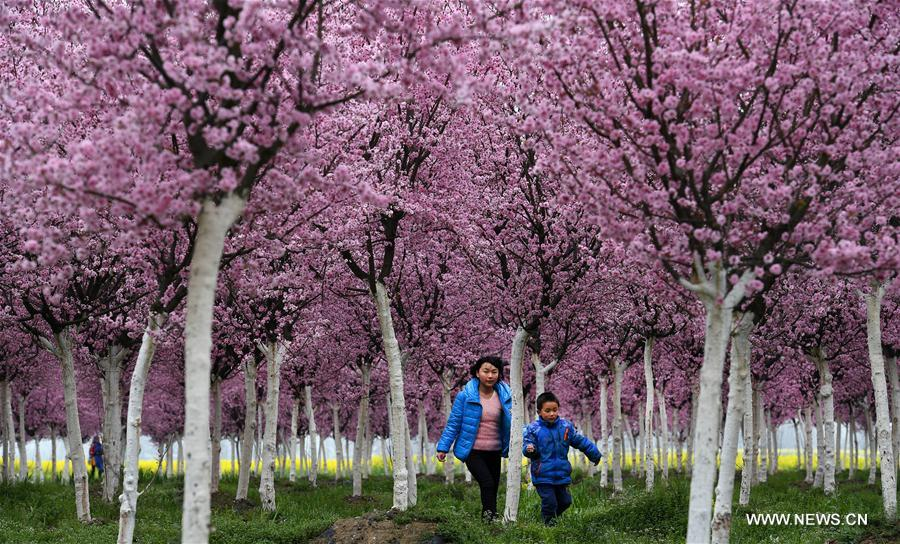 Kids play under the plum blossoms in Tiandang Mountain in Mianxian County, northwest China's Shaanxi Province, March 19, 2017. (Xinhua/Tao Ming)<br/>