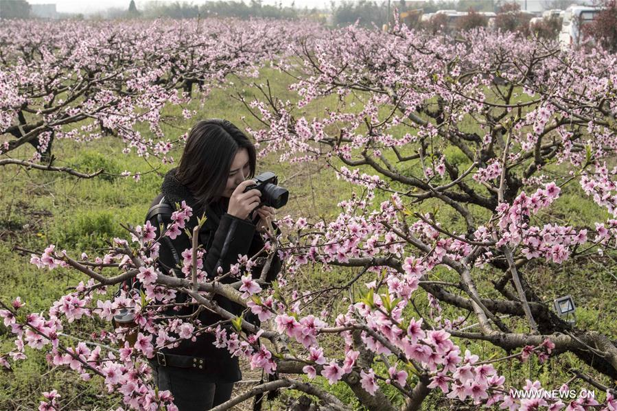 A tourist takes photos of peach blossoms in Fengshan Town of Xiaochang County, central China's Hubei Province, March 18, 2017. (Xinhua/Du Huaju)<br/>