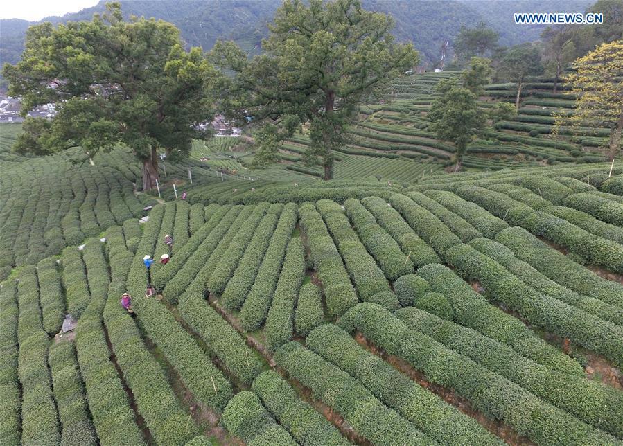 CHINA-HANGZHOU-WEST LAKE LONGJING TEA-PICKING (CN)
