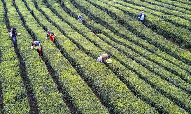 Farmers harvest tea leaves to produce Mingqian tea in SW China