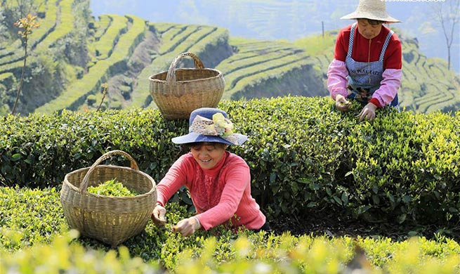Farmers across China harvest tea leaves before Qingming Festival