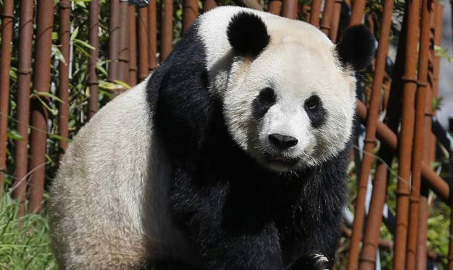 Chinese giant pandas live at Pairi Daiza zoo in western Belgium