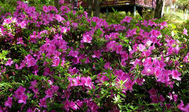 Tourists enjoy azalea flowers on 2nd day of Qingming Holiday