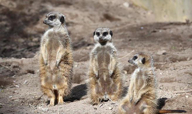 In pics: meerkat at Ouwehands Zoo in Netherlands