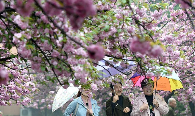 Tourists view cherry flowers in E China's Hefei