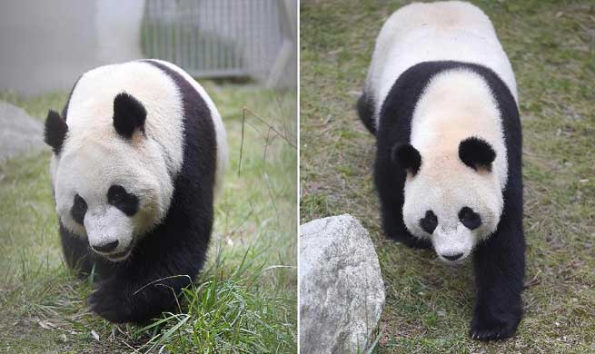 Two giant pandas in SW China leave for Netherlands