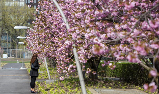 Cherry blossoms seen on trees at UN Headquarters in New York